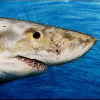 Great White Sharkey Art Prints & Posters by Gary Scarisbrick