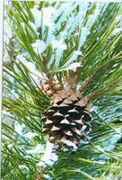 ROCKY MOUNTAIN PINECONE