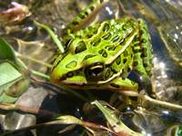 a very co-operative frog