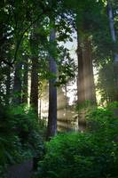 Sunlight In The Redwoods (V)