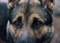 German Shepherd: The Look