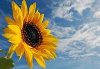 Sunflower & sky