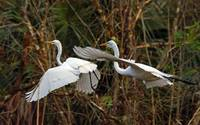 Great Egret X2