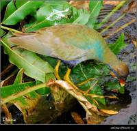 Gallinule Watering Hole