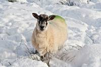 Inquisitive_sheep