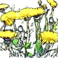 Dandelions Art Prints & Posters by Cindi Lane