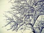 winter - snowy branches