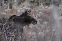 Moose in American Fork Canyon