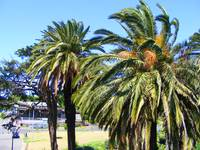 Palm trees 0479
