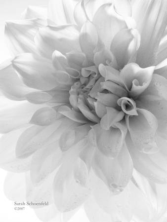 White Dahlia Closeup by Sarah Schoenfeld