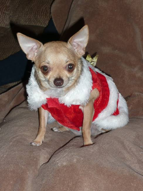 Princess Cocoa In Christmas Attire  680