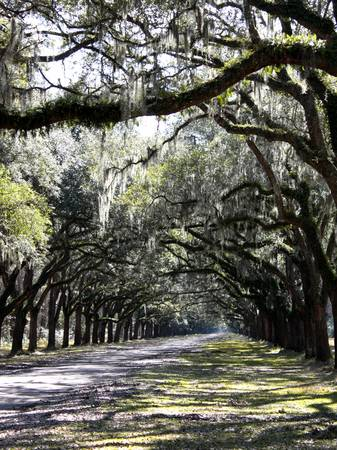 Sunlight and Shadows on Live Oaks