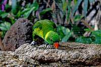 Lorikeet bird