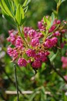 Sheep's Laurel