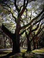 Sunlight through Live Oaks