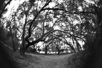 oak trees and a fisheye