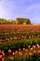 Tulips and Barn 1