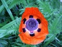 Orange Poppy Glory