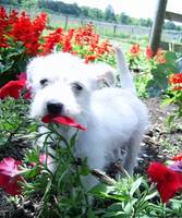 Westie Mix Puppy in Flowers