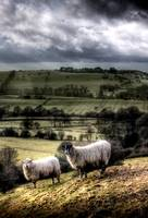 Wooly residents of Bollington