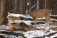 Two Winter Deer by Daniel Teetor