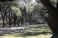 Green Lane with Live Oaks by Carol Groenen