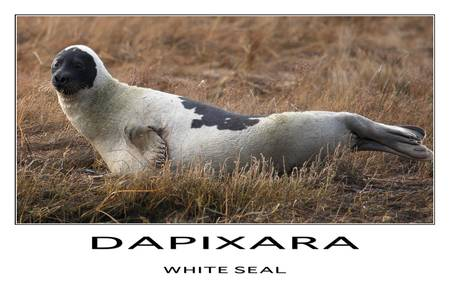White Seal Poster by Dapixara Black White Photos
