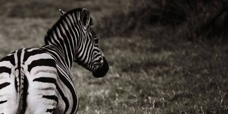 Zebra from Behind