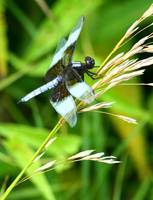 A Widow Skimmer on Grass