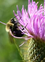 Bumble Bee on Thistle I