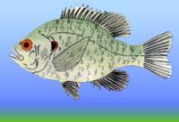 Redear (Shell Cracker) Sunfish