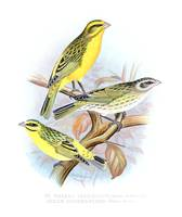 St. Helena Seed-Eater and Green Singing-Finch (189