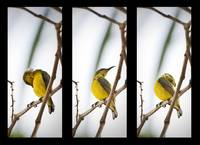 Yellow Breasted Sunbird Triptychs