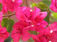 Bougainvillea in the Bahamas