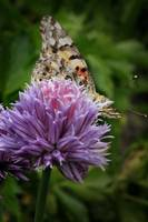 Chive & Butterfly