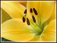 Mellow yellow lily
