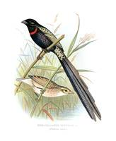 Red-Collared Whydah (1899)