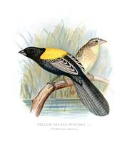 Yellow-Backed Whydah (1899)