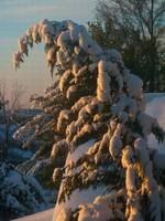 Leyland Cypress bowed by snow