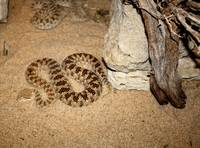 Desert Pit Vipers in Kuwait