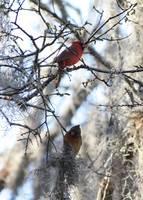 Cardinals in Mossy Tree by Carol Groenen
