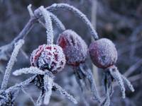 Frosty Yard Berries 2