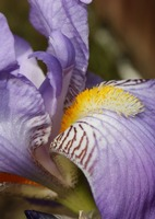 Purple Iris Closeup