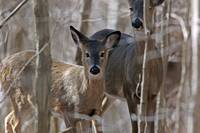 White-tailed Deer 1DH352highres