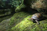 Box Turtle Hocking Hills
