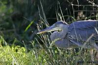 Great Blue Heron 1DH300highres