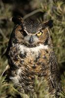 Great Horned Owl 3dv03highres