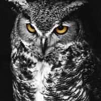 Great Horned Owl Spot Color Black and White by Jim Crotty