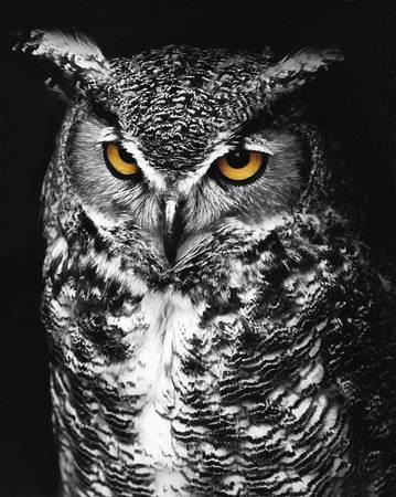 Great horned owl spot color black and white