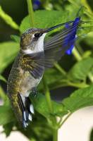 RubyThroatedHummingbird